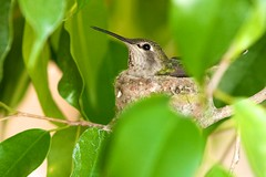 Photograph: Hummingbird in nest
