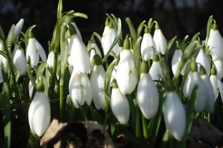 Snowdrops | by julie gibbons