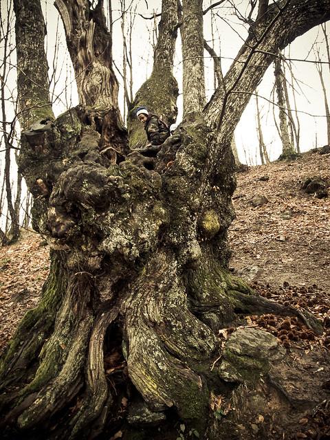 Champion Tree, Son