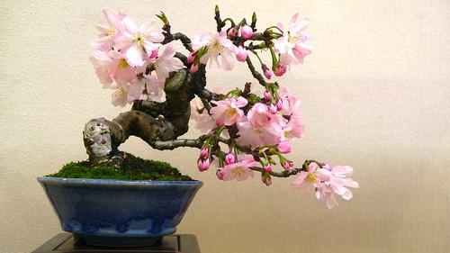 Sakura Bonsai   by rumpleteaser