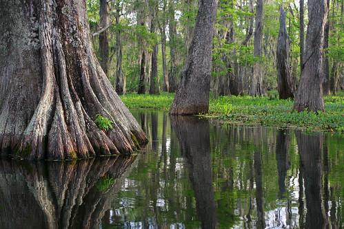 morning reflection tree water la spring louisiana kayak lafayette dof ben bald swamp pierce cypress ruth rookery tupelo lakemartin breauxbridge cypressislandpreserve