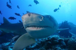 Sicklefin Lemon Shark | by sharkdefenders
