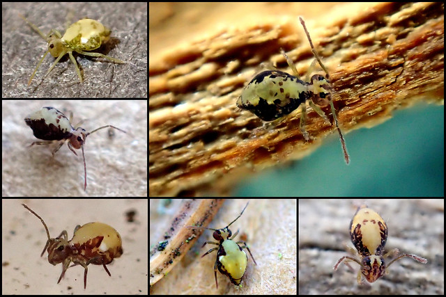 Ptenothrix maculosa ssp. olympia f.1 Collage