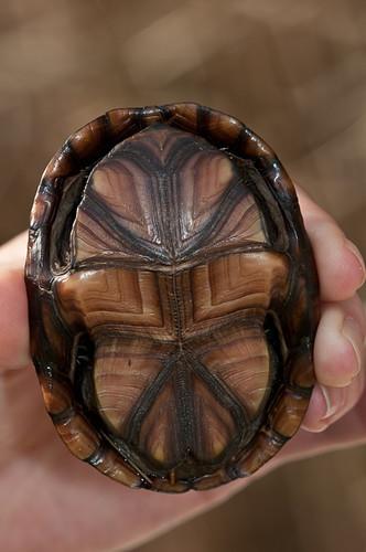 animals virginia unitedstates turtles animalia reptiles sanford vertebrates testudines easternmudturtle kinosternonsubrubrumsubrubrum