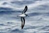 Black-winged Petrel, Pacific Ocean by Terathopius
