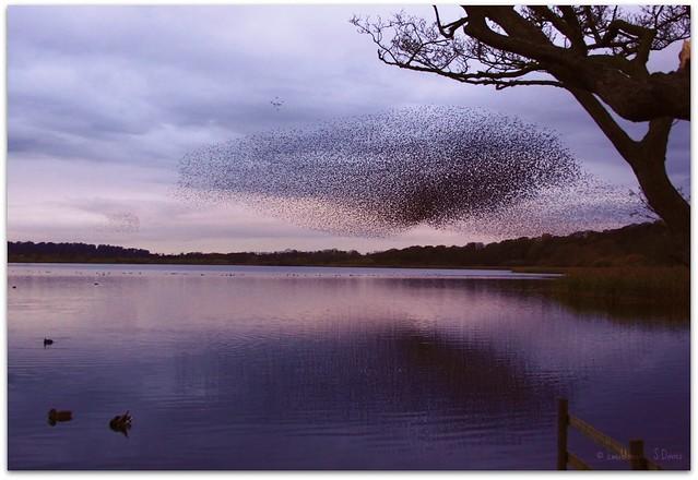 Starling flock at dusk