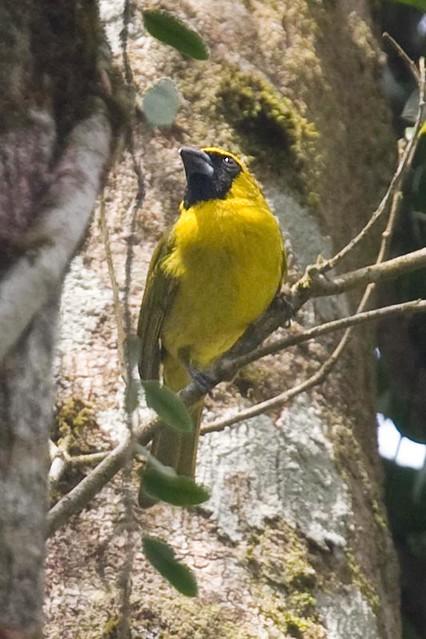 Caryothraustes canadensis - Yellow-green Grosbeak