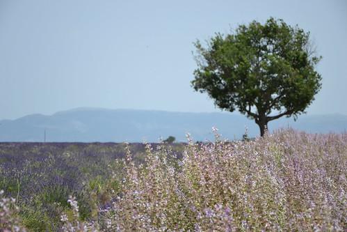 Salvia sclarea - sauge sclarée 32881957596_efce58f71d