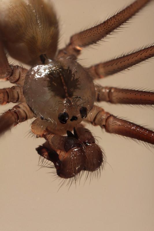 Longbodied Cellar Spider (Pholcus phalangioides)