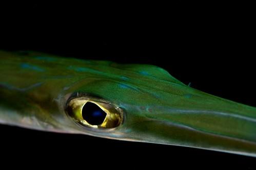 Blue Spotted Cornetfish - Fistularia tabacaria   Blue ...