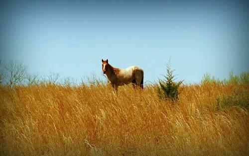 horse animal kansas