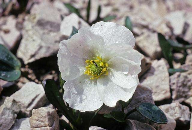 Parnassus-leaved Buttercup- Ranunculus parnassifolius