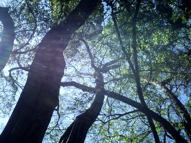 Árvores de São Bento