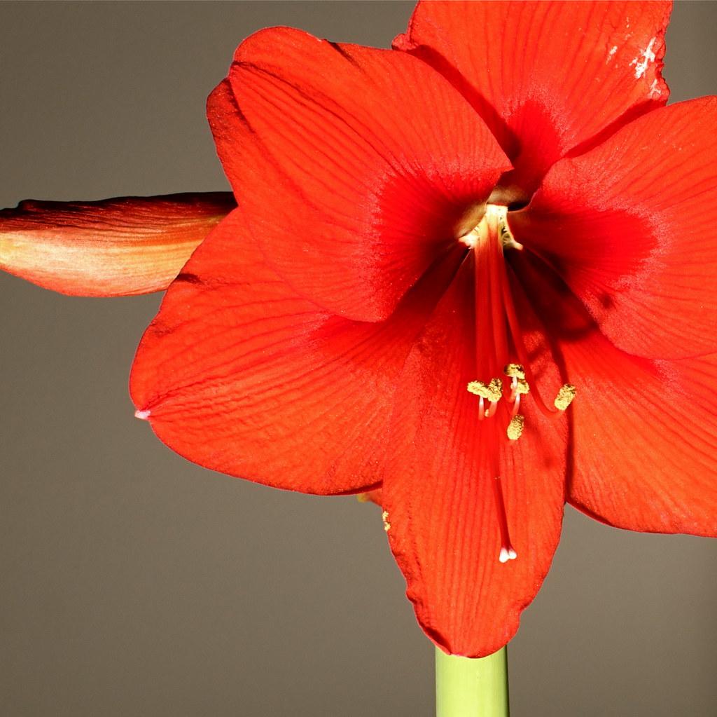 Amaryllis Bloom 1 by nataraj_hauser / eyeDance