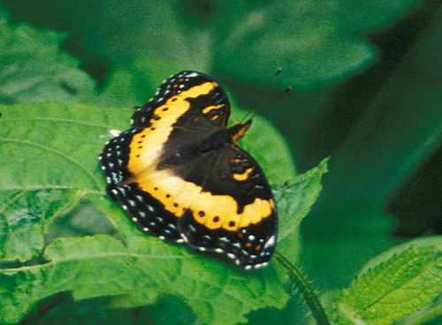 Nigerian butterfly | by mmmavocado