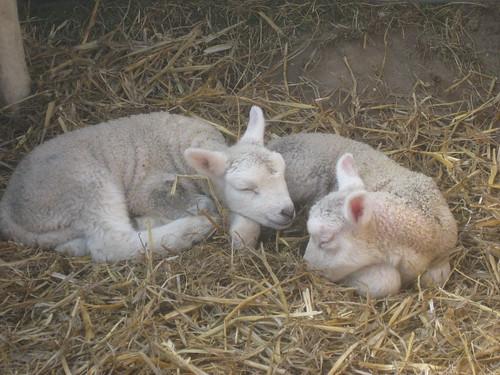 Cute lambs at Calke Abbey   by Matt From London