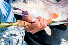 redfish on fly | by BoldWater