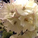 黄桜/ウコンザクラ(鬱金桜)
