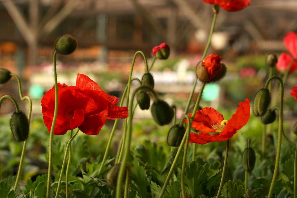 probuilds poppy