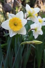 Daffodils | by joeysplanting
