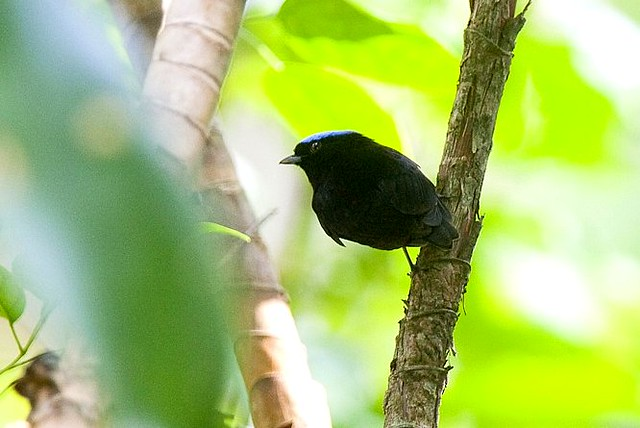 Blue-crowned Manakin - Canopy Tower Panama_H8O3169-269