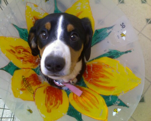Maggie's owner decorated her cone after she got spayed