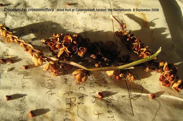 Crocosmia x. crocosmiiflora - frt + seeds Calandstraat, Leiden, NL 8 Sept 2008 Leo