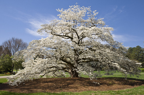 white tree spring huntsville blossoms alabama bluesky dogwood botanicalgarden