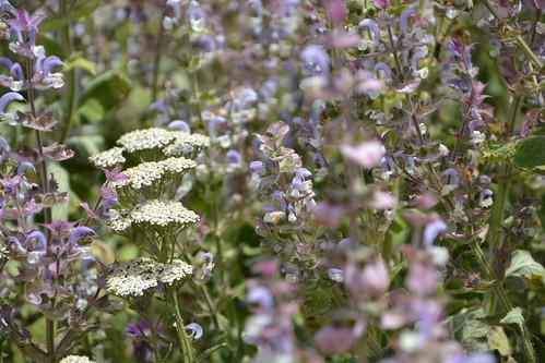 Salvia sclarea - sauge sclarée 32107584003_3fdd6d73c5
