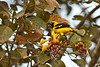 Yellow-tailed Oriole by chlorophonia