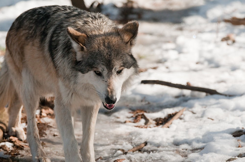 The Wolf That Cried Boy | by Eric Kilby