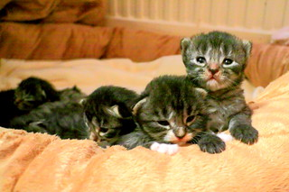 Great view from here, Fluffy's Kittens (two-weeks-old Main