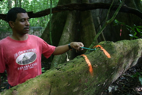 "Mon, 06/15/2009 - 14:18 - Pablo Ramos showing a location along a fallen log, which is monitored annually based on the protocol ""CWD Dynamics"" developed by the CTFS Global Forest Carbon Research Initiative (June 2009). Credit: Markku Larjavaara"