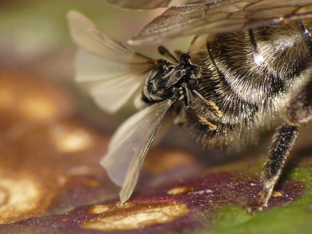 Strepsiptera sp. (Stylops melittae) #1