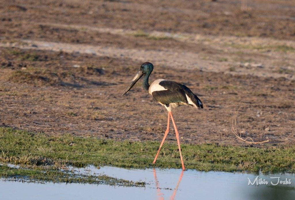 Black-necked stork [Jabirú Asiático]