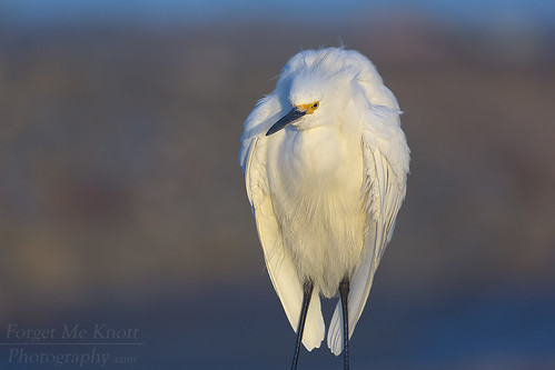 brianknott fmkphoto forgetmeknottphotography bird wildlife egret snowyegret whiteheron sunset sunrise perched wings feathers bolsachica wetlands reserve ecologicalreserve huntingtonbeach california specanimal