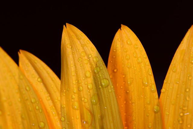 Sunflower Pedals