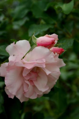 DSC00007 | by 悠遊山城.樹玫瑰.庭園美食.