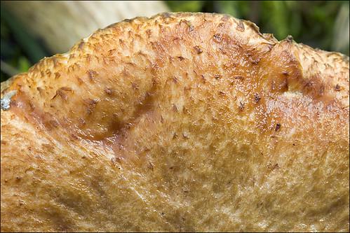 Suillus bovinus_8 | Suillus bovinus Jersey cow mushroom ...