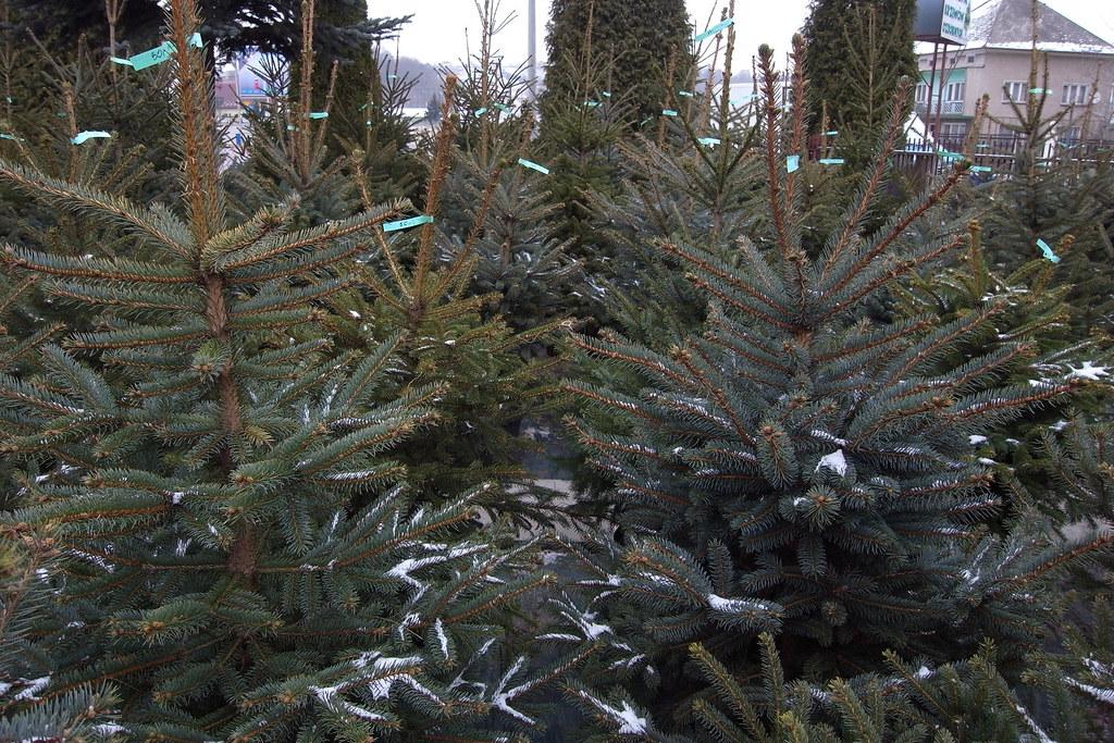 Pora kupić choinkę / Time to buy a Christmas tree