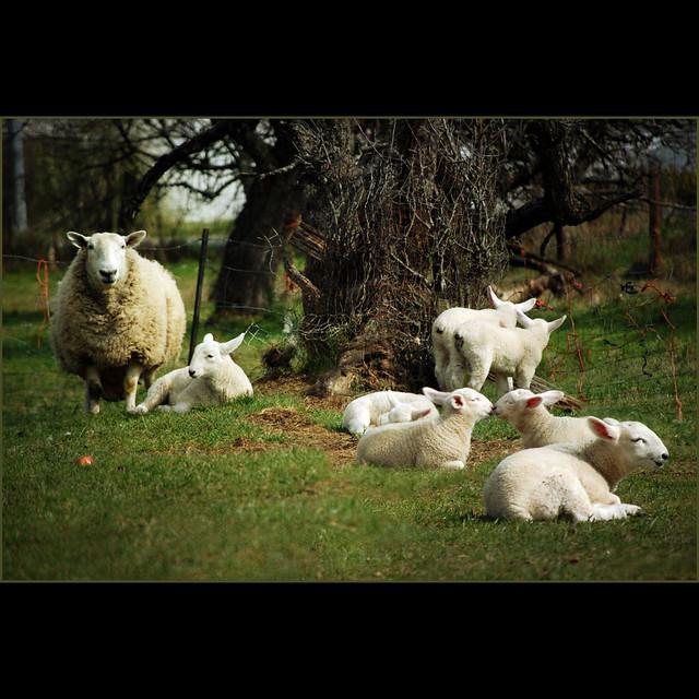 spring lambs . . .