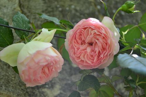 rosier 'Pierre de Ronsard' 32693147420_cfc10596ed