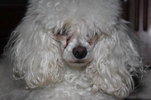Puffy hair poodle | by gabrielsaldana