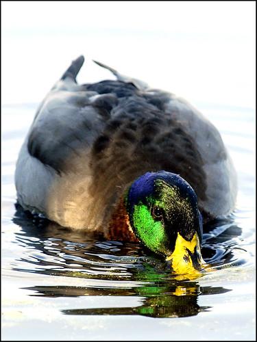 florida ducks waterfowl panamacitybeach mallards standrewsstatepark migratorybirds gatorlake floridastateparks nikond40x nikkored70200vrwithtc14e