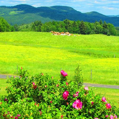 light summer canada color nature rose montagne landscape juin quebec lumière country mount été paysage campagne couleur estrie 2011 roseraie quynhvu laraqueen canonpowershotsx30is rosesdeschamps