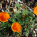 Flickr photo 'California Poppies' by: pchgorman.