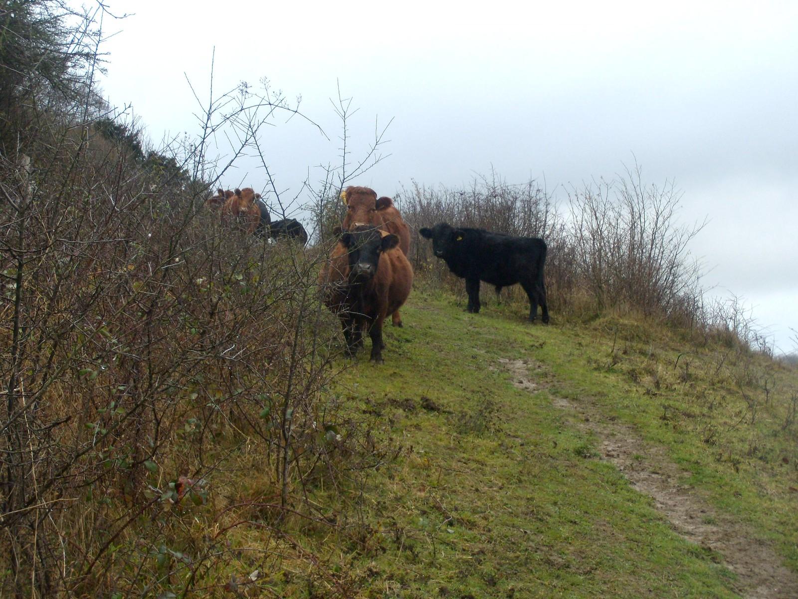 Dexter cattle Eynsford to Shoreham