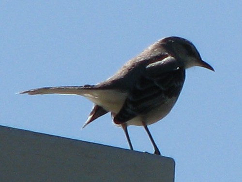bird texas northernmockingbird mockingbird mimuspolyglottos texasstatebird balconescanyonlands balconescanyonlandsnationalwildliferefuge mlhradio