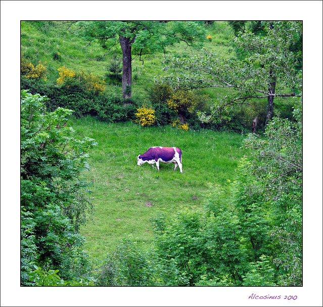 La vache de