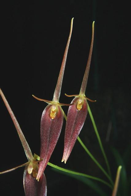 Barbosella species Ecuador